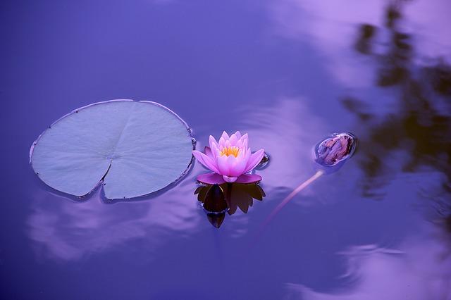 pink lotus bloom on water
